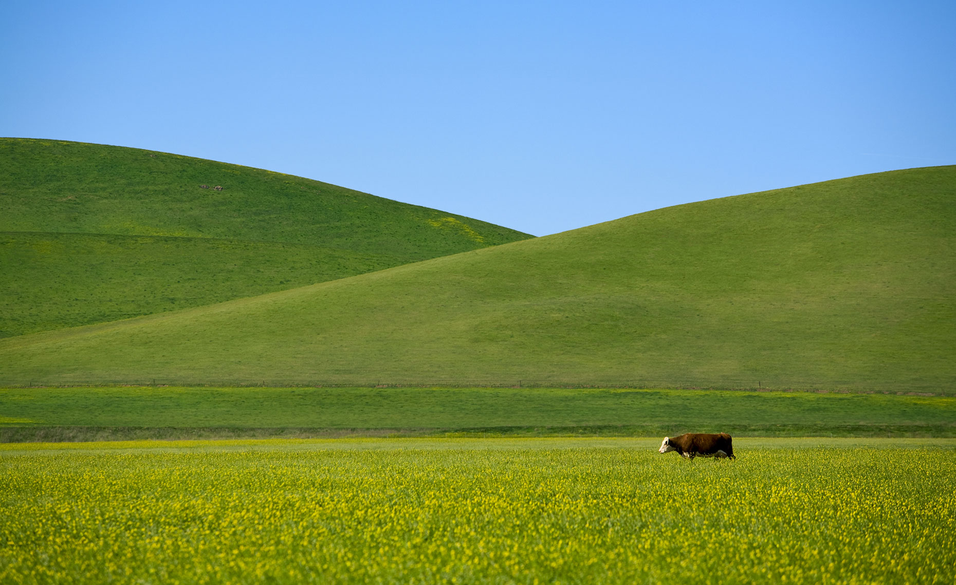 Cow California Photography Central Valley
